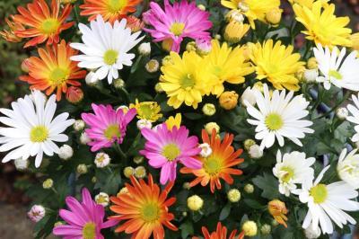 Chrysantheme des fleuristes